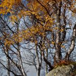 october_birch