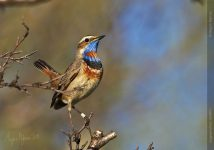 Bluethroat_my_fellow