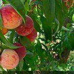 Peaches - Il Sentiero della Castagna Granda