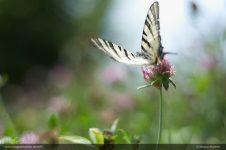 swallowtail 16