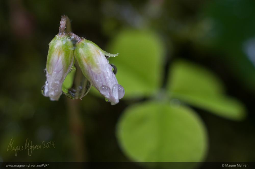 De to enkle gaukesyreblomstene klarer å balansere de tre bladene. Det er viktig at det er grønt på blomstene fordi det skaper sammenheng med bladene.