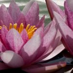 red_waterlilly_03
