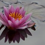 red_waterlilly_05