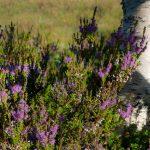 birch-heather
