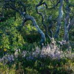 birch-heather2