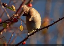 Life of a waxwing