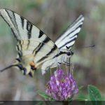 swallowtail 10