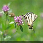 swallowtail 18
