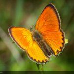 Scarce copper - Oransjegullvinge - Lycaena virgaureae